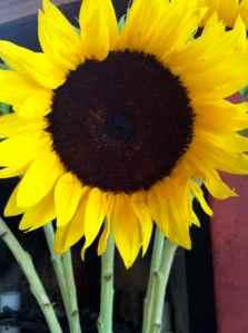 sunflower   Copyright 2016 Patricia Belleno